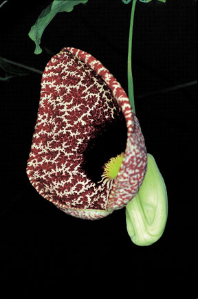 Aristolochia elegans Mast. (A. littoralis Parodi) 